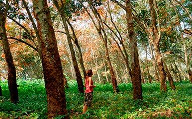 Bosque Heveas